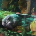 Der coolste Fisch im SEA LIFE Oberhausen ist Seewolf-Dame Elfriede.