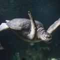 """Der Speck muss weg – Grüne Meeresschildkröte Twiggy auf """"Diät"""""""